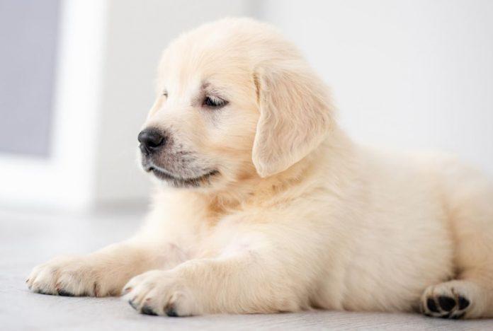 Online Puppy Scam