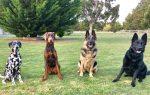 Companion Dog Training